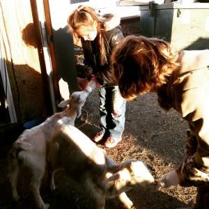 cute goat video