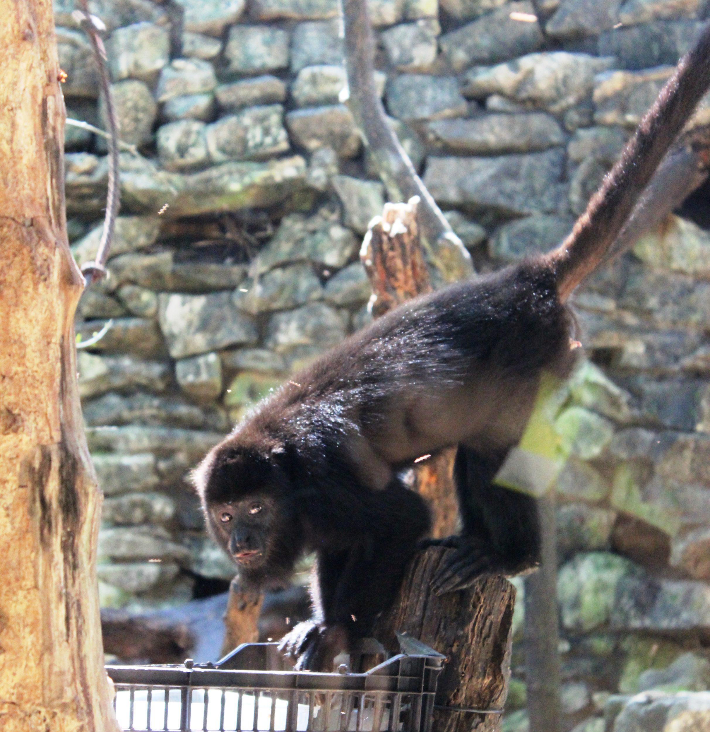 howler monkey eco park aluxes