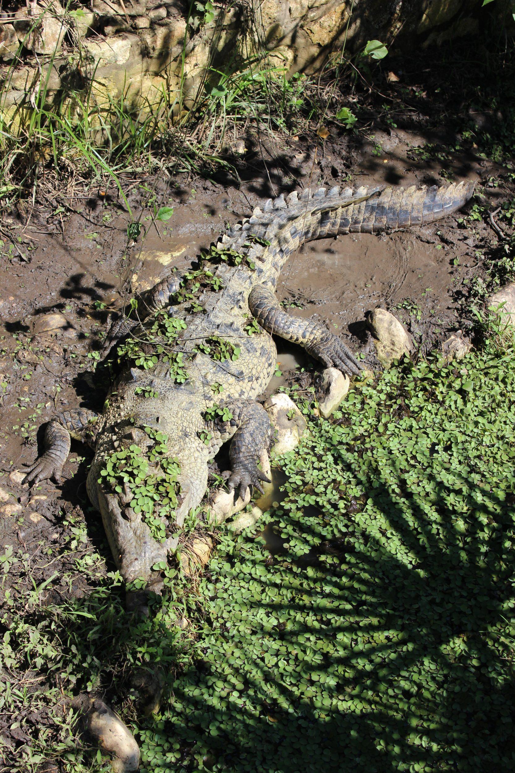 crocodile eco park aluxes